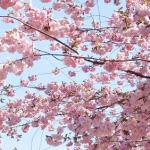 Можно ли вырастить сакуру на даче?