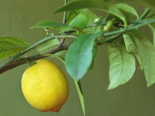 болезни лимона комнатного липкие листья щитовка