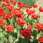 Когда можно пересаживать тюльпаны?