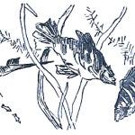 Лабиринтовые рыбы в аквариуме