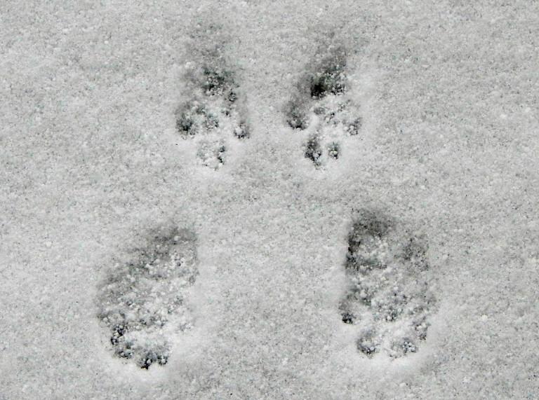 Следы белки на снегу: фото