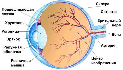 строение глаза человека схема фото