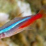 Светящиеся аквариумные рыбки