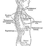 Возрастные особенности желез внутренней секреции у детей