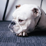 Опасное лакомство. Почему собакам нельзя свинину?