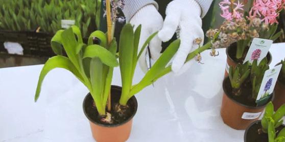 Гиацинт после цветения: Ухаживаем правильно!