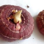 Когда начинать проращивать гладиолусы?