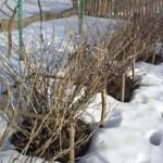 Чем обработать смородину ранней весной?
